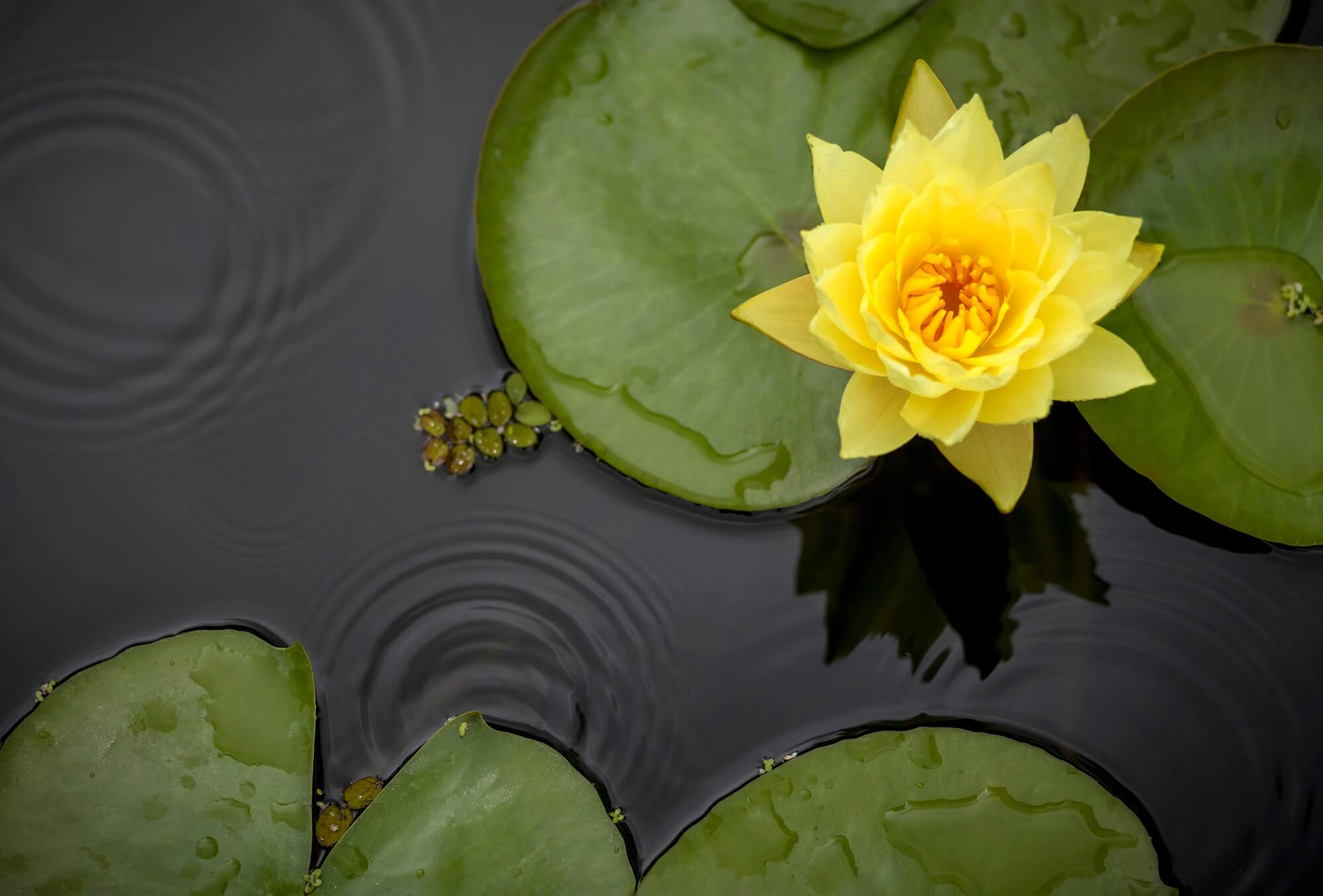 Yellow waterlily in the pond in the rain